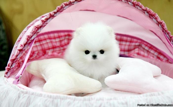 Lovely Pomeranian Puies for a good home for XMAS $200 ONLY - Price: 200