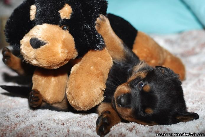 lovely rottweiler puppies for adoption - Price: 150