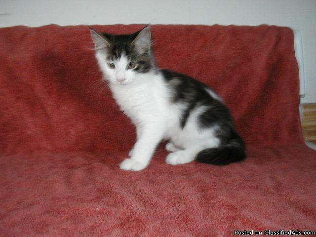 Maine Coon Kittens - Price: 400 for sale in Grand Rapids