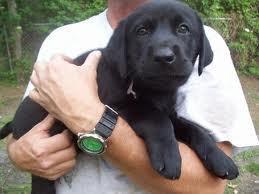 Male and female Labrador retriever puppies for adoption