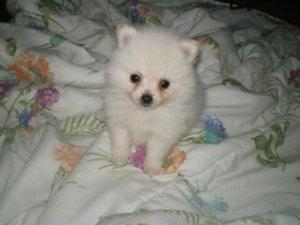 Male and Female Pomeranian Puppies For Sale - Price: 200