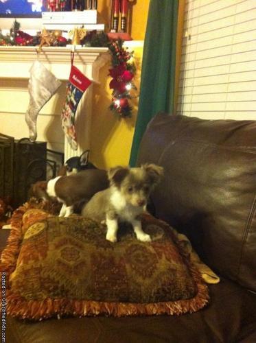 Male Chihuahua - Price: 250.00