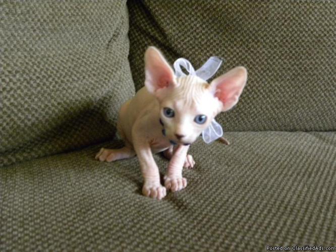 Male Cream Point Sphynx Kitten - Price: 1200 for sale in