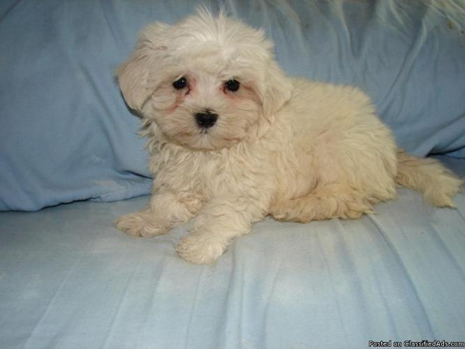 Male Malti-Poo Puppies - Price: 200