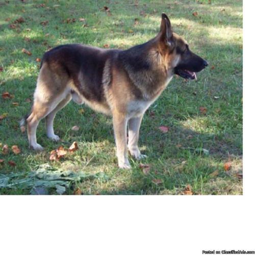 puppy search breed german shepherd male state papa