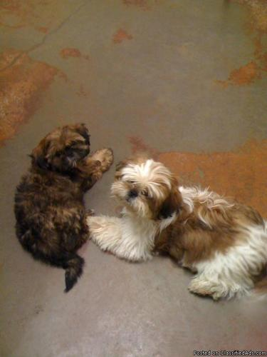 Male Shih Tzu Puppies Price 250 For Sale In Weatherford