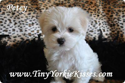 Maltese Puppies For Sale Local In Northern California Price 850 For Sale In Vacaville California Best Pets Online