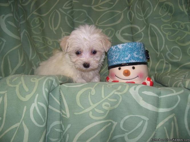 Maltese Pups $400, Malte-Poos & Morkies $75+ - Price: 375