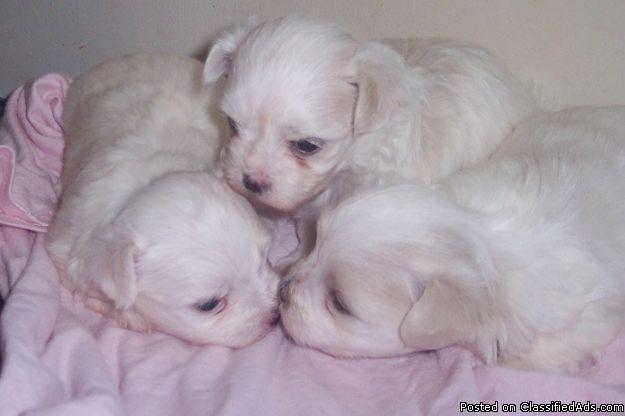 Maltese! White fur Balls - Price: 450