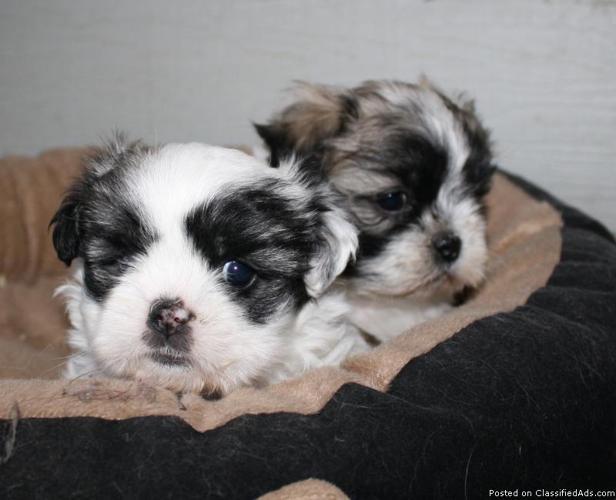 Maltese/Shih tzu Mix Puppies - Price: $400