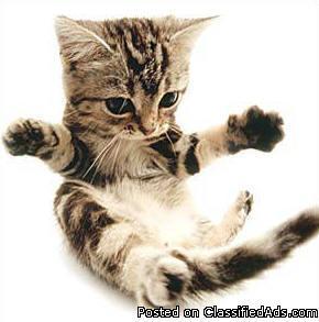 Many Free American Shorthair kittens for adoption Brooklyn New York