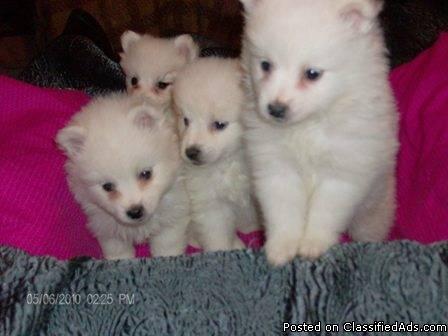 Mini American Eskimo Puppies 512-638-6064 - Price: $300