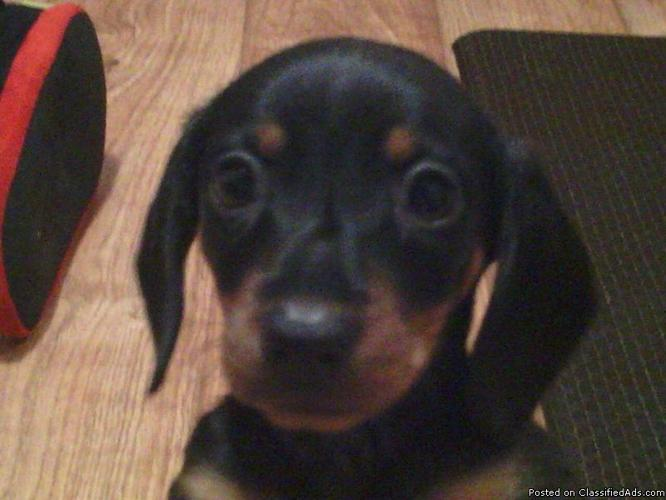 Mini Dachshund Price 125 For Sale In Fort Smith Arkansas