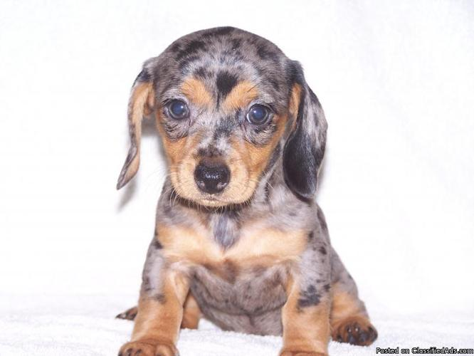 Miniature Dachshund Puppies For Sale Florida