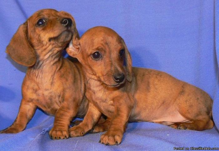 Mini Dachshund Puppies Price 225 For Sale In Tempe