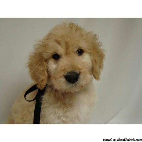 MINI GOLDENDOODLE PUPPIES for sale in Chapel Hill, North