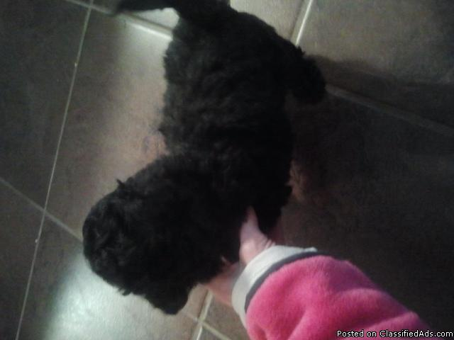 mini poodle mix(multipoo) - Price: 350