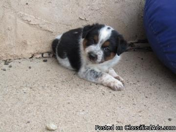 Mini Texas Heeler Puppies Must See Price 25000 For Sale