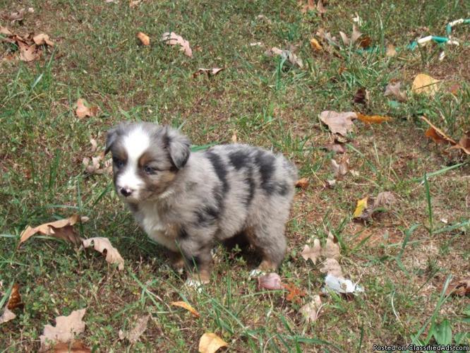 Miniature Australian Shepherd Puppies Price 400