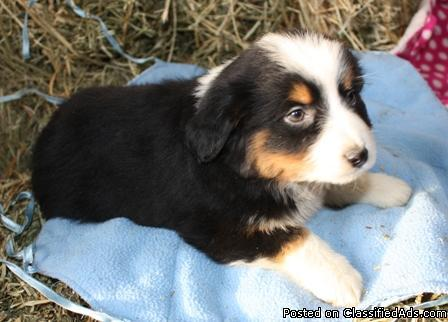 Miniature Australian Shepherd Puppies - Price: $450-750 for sale in