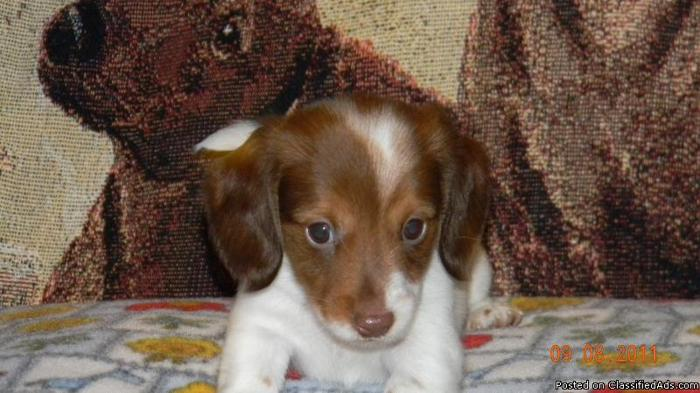Miniature Dachshund Piebald Puppies Price 250 00 For Sale In