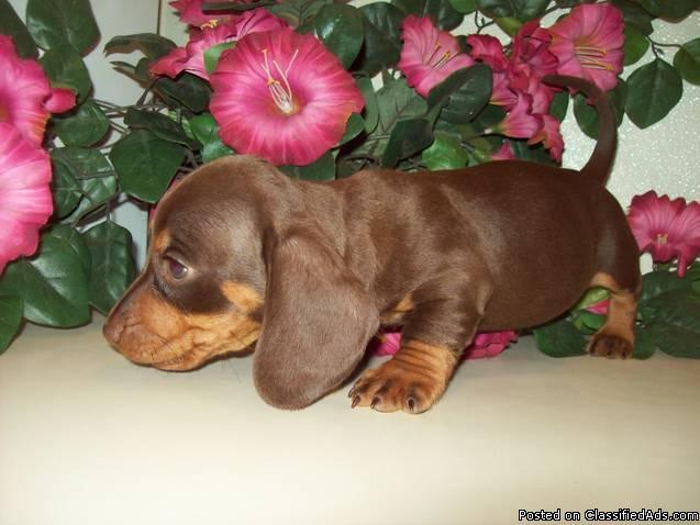 Miniature Dachshund puppies for sale in South Florida