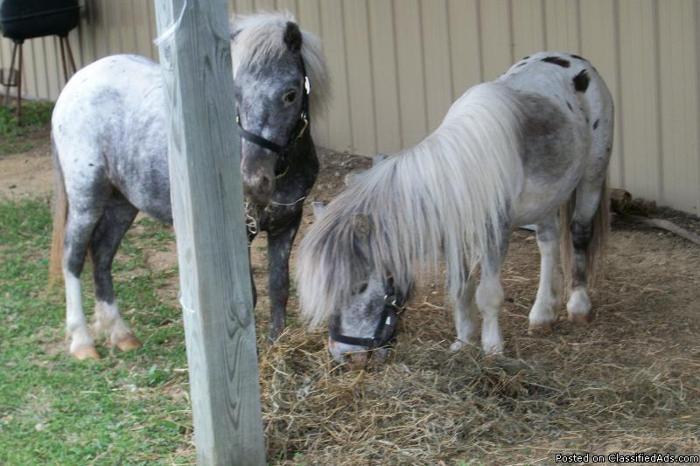 Miniature Horse Herd Reduction! Prices $150-$500 L@@k!! - Price: Various
