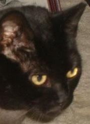 Missing Black (Tailess) Female Manx
