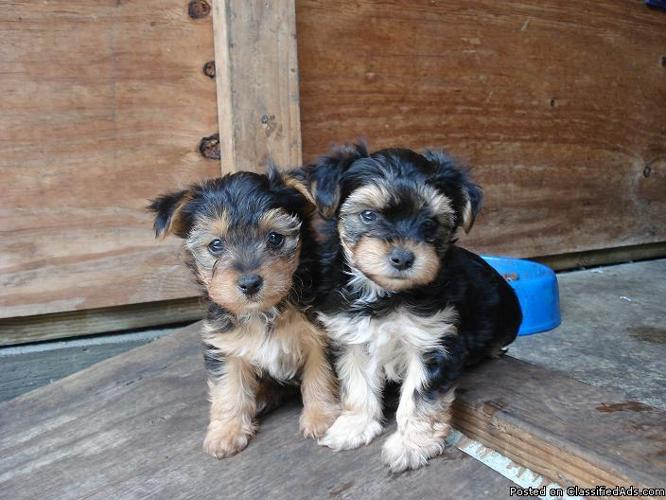 MORKIE PUPPIES - Price: 500 for sale in Ventura, California - Best