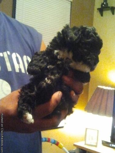 multipoo puppy for sale - Price: 300