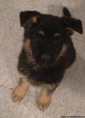 Must Sell!!! GSD pups -moving out of state - in Jan 2013 - Price: $600 USD
