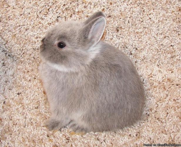 netherland dwarf bunnies - Price: 50.00