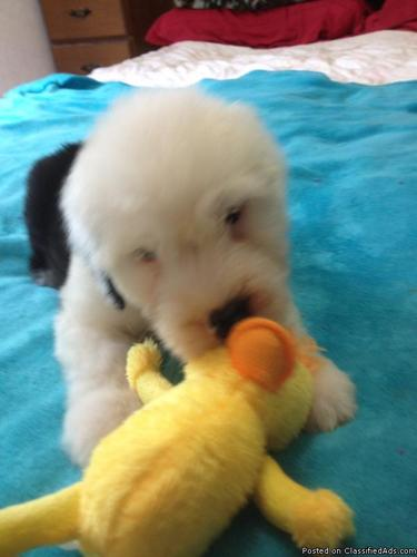 Old English Sheepdog Puppies for sale in Cincinnati, Ohio