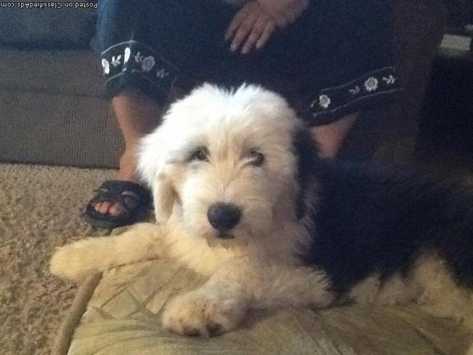 Old English Sheepdog Puppies for sale in Sonora, California