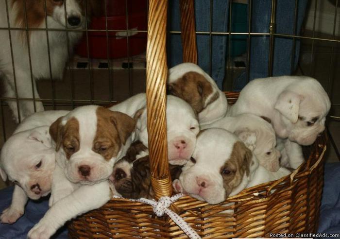 Olde English Bulldogge Puppies - Price: $1,000.