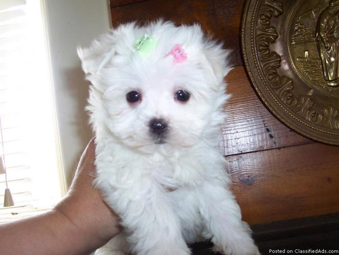 Only one left Maltese - Price: 400