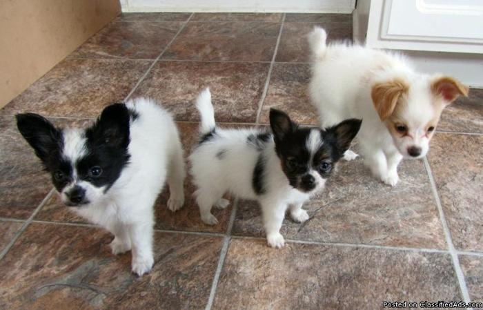 Papillon Dogs For Sale In Michigan
