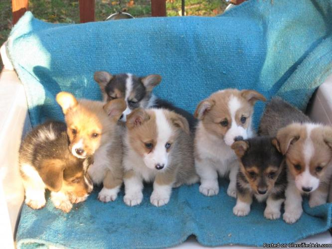 Pembroke Welsh Corgi Puppies - Price: $350 00 for sale in