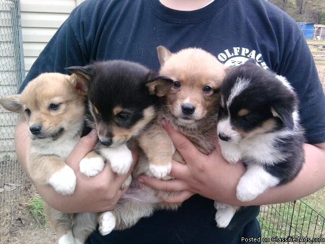 pembroke welsh corgi pups - Price: $300-$350 for sale in El
