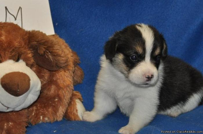 Pembroke Welsh Corgi Pups Price 500 For Sale In Newberry