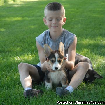 Pembroke Wesh Corgi Puppies - Price: 300 00 to 600 00 for