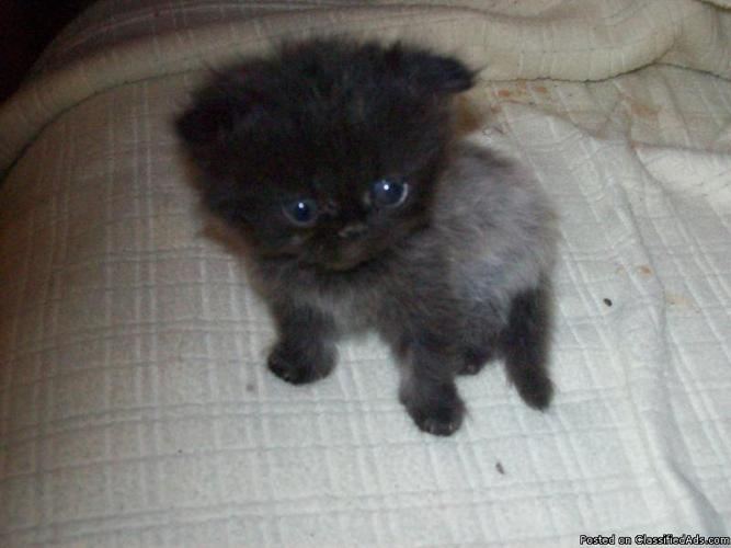 Persian and Himalayan Kittens Purebred - Price: $350 for