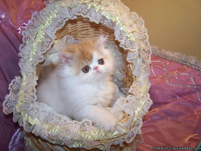 Persian Kittens For Sale Price 300 For Sale In Finksburg Maryland Best Pets Online