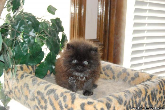 Persian kittens for sale fresno ca