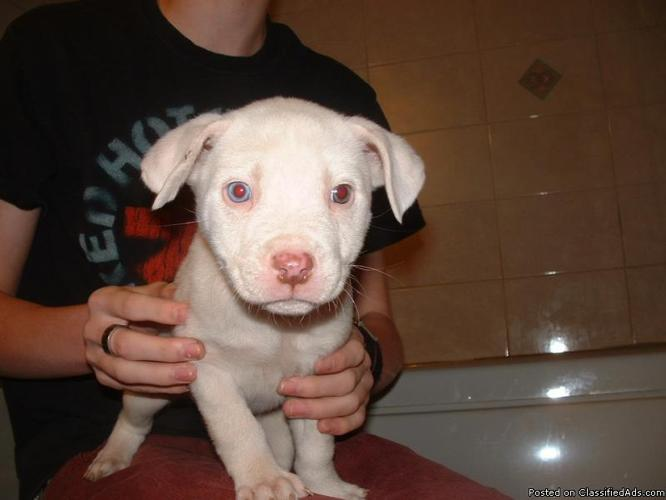 Pit Bull 719 542 4562 For Sale In Pueblo Colorado Best Pets Online
