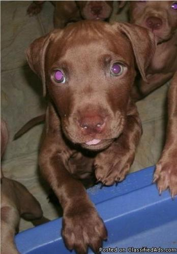 PIT BULL PUPS FOR SALE - Price: 350.00