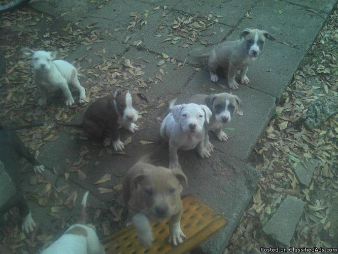 Pitbull Puppies Price 25000 30000 For Sale In Shreveport