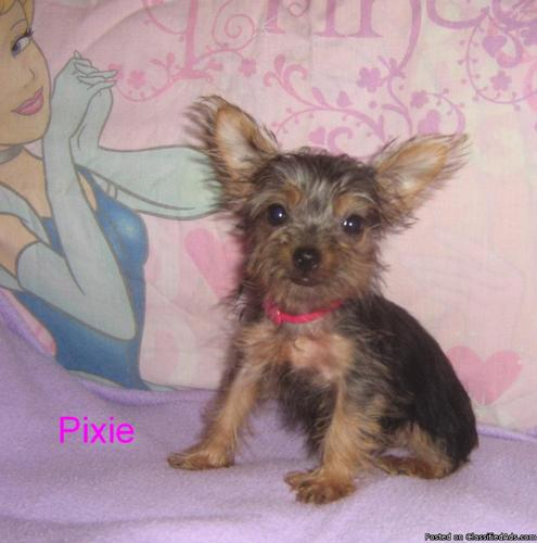 Pixie Chick (Yorkie) - Price: 700