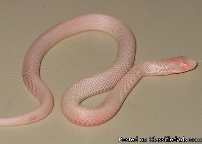 Plains Garter Snakes - Snow & het albino pair - Price: $50