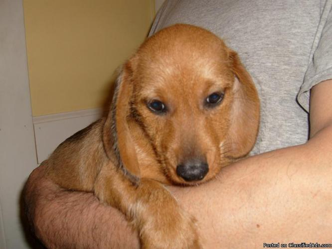 Playful Miniature Dachshund Puppy Price 300 00 For Sale In